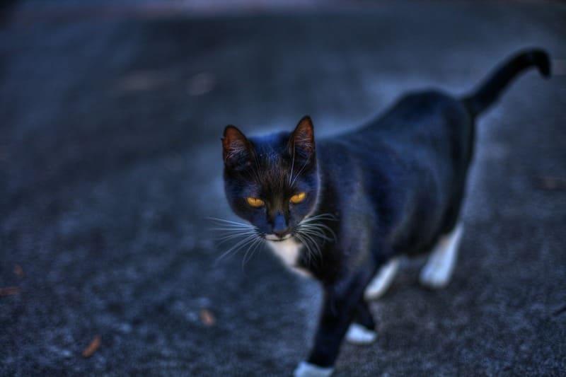 ハローが出た黒猫のHDR写真