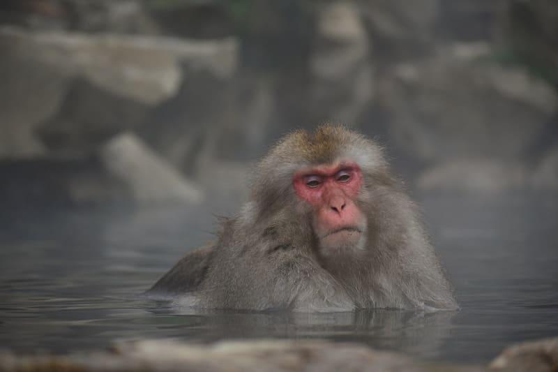サルが温泉に使っている写真