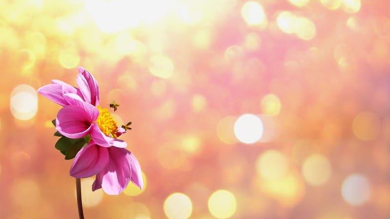ピンクの花に寄ってきたハチと丸ボケの効いた暖かい写真