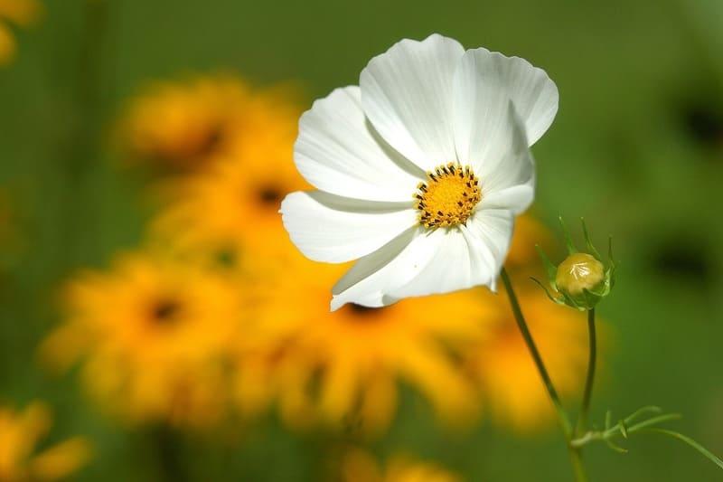 近くから大きく撮った白い花と後ろに浮かぶ黄色い花々
