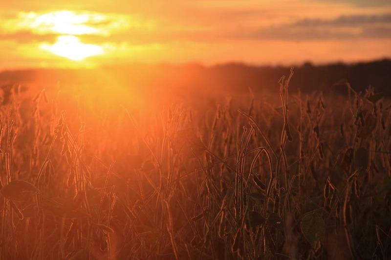 夕焼けに照らされる稲穂とフレア