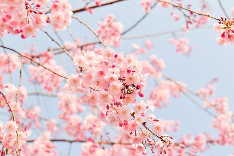 スタンダードで撮られた桜の写真