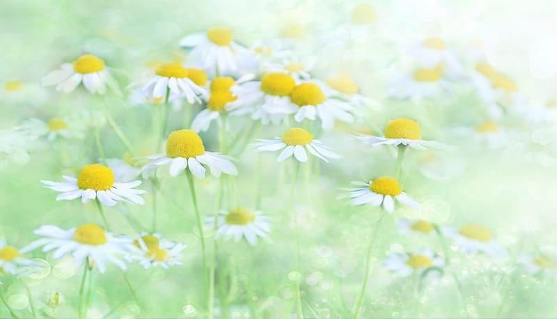 白い花の群生を露出補正を上げて優しく撮った写真