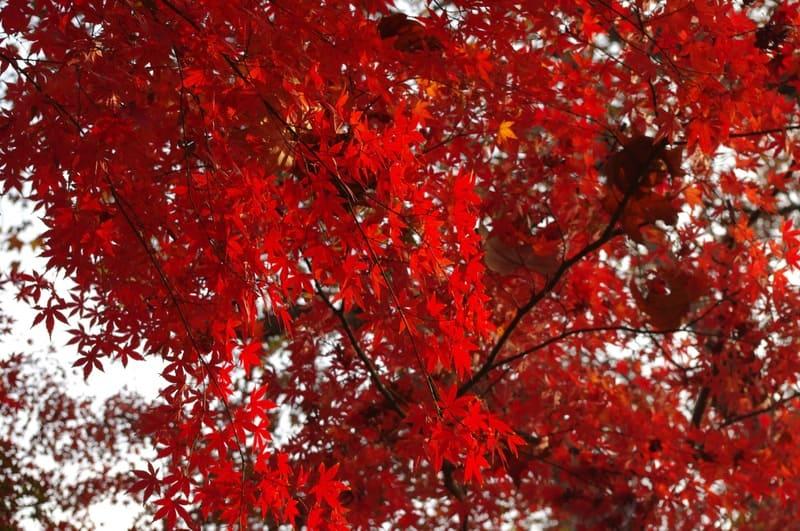 光の反射がないのっぺりとした紅葉の写真