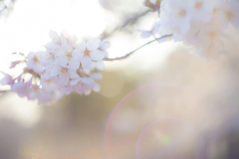 逆光で撮った桜の花