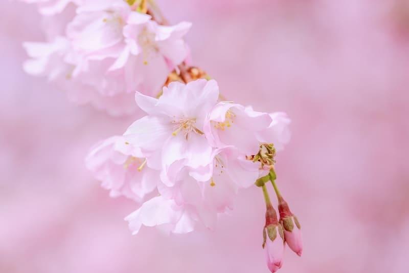 背景がピンクの桜の花の写真