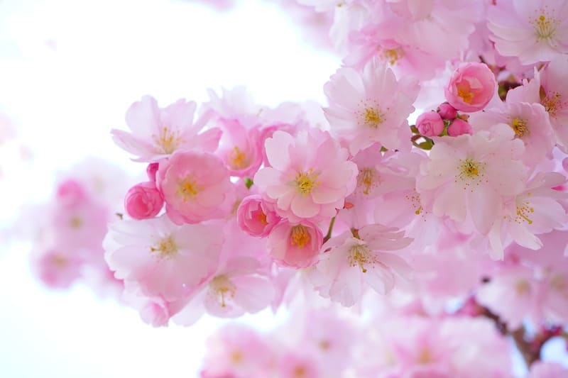 逆光で撮った美しい桜の写真