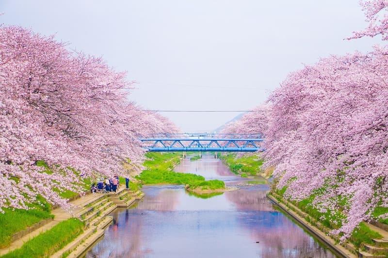 川の両側に立ち並ぶ満開の桜