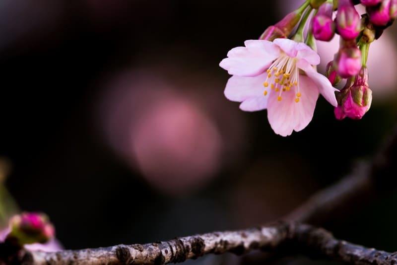 背景が暗い桜の花