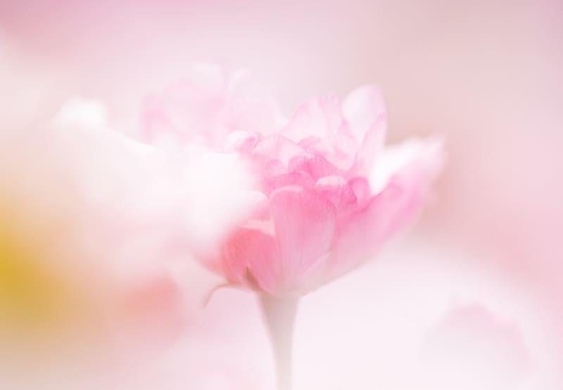 マクロレンズで撮影した桜の花