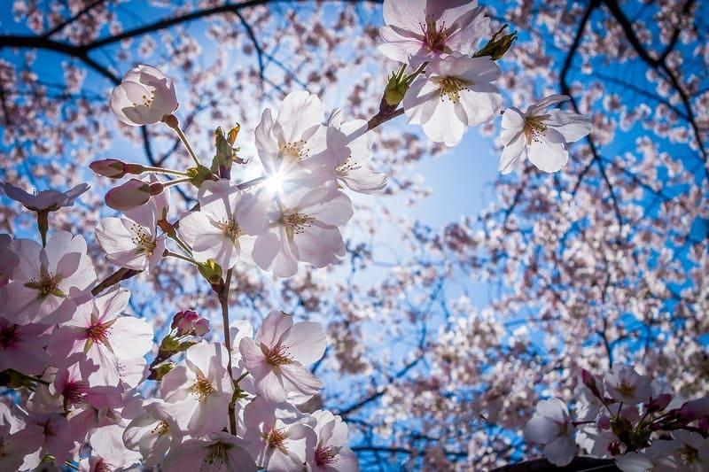 広角レンズで空と一緒に撮った桜