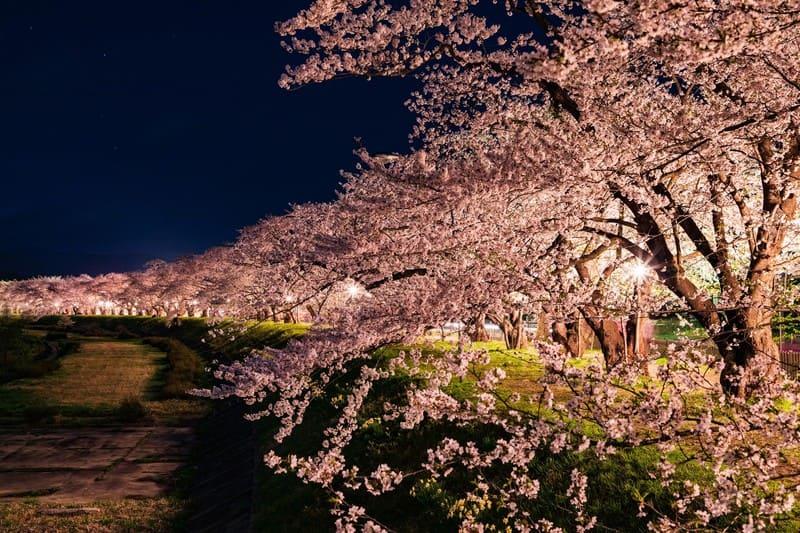 川沿いに並ぶ夜桜