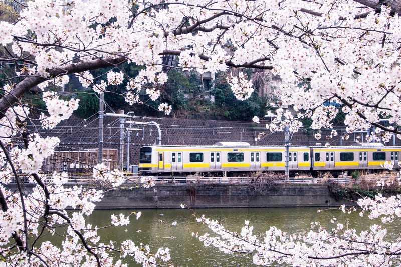 桜のすきまから見れる電車