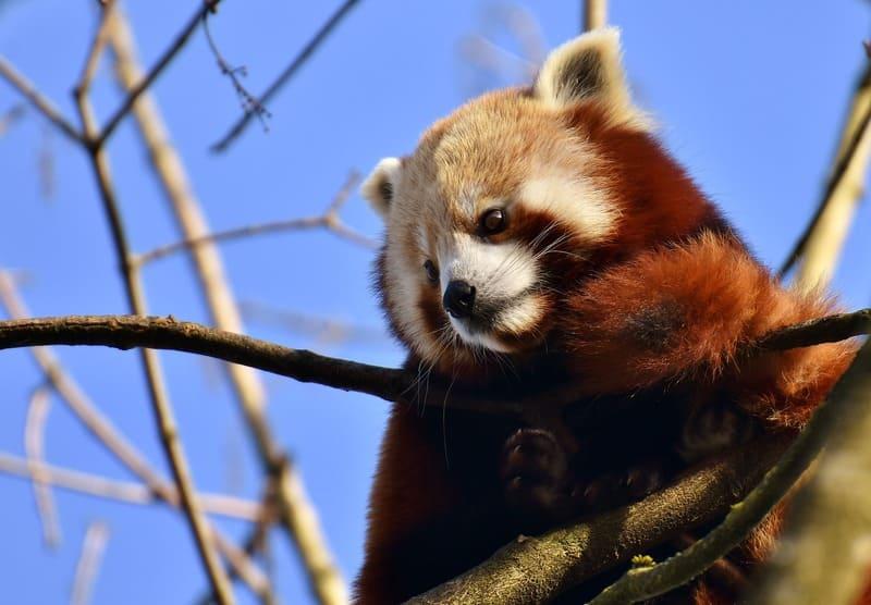 遠くを見つめているレッサーパンダの写真