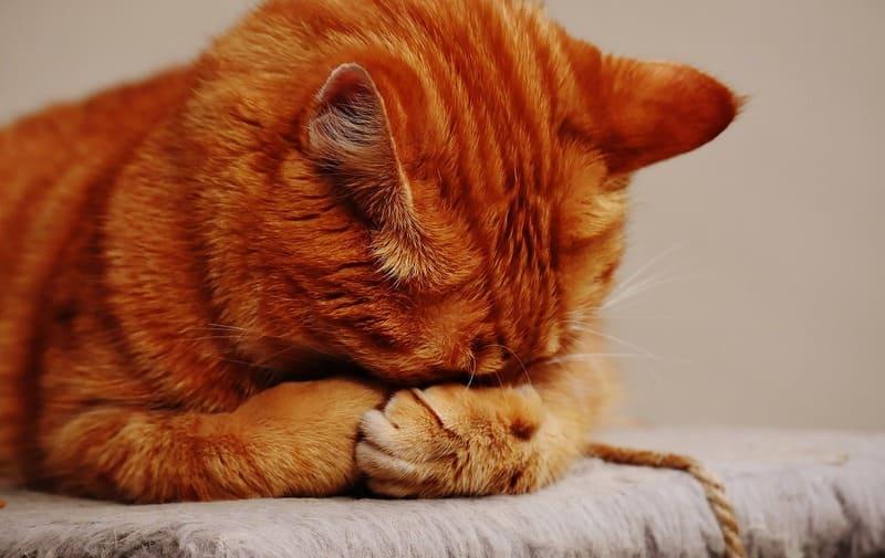 顔を前足にうずめている子猫の写真