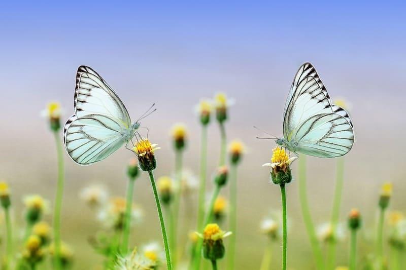 花に留まった2匹のモンシロチョウを大きく写した写真