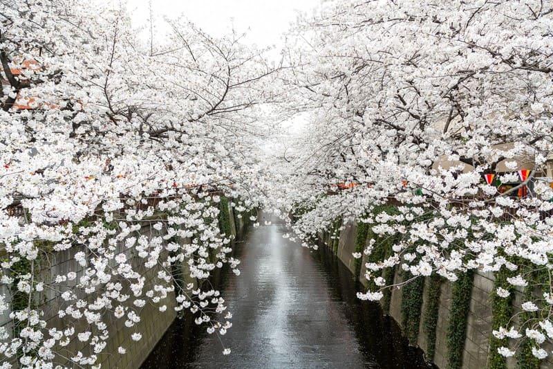 昼に撮影された目黒川の桜