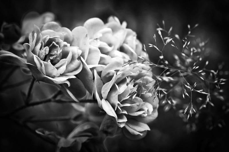 モノクロのバラの写真