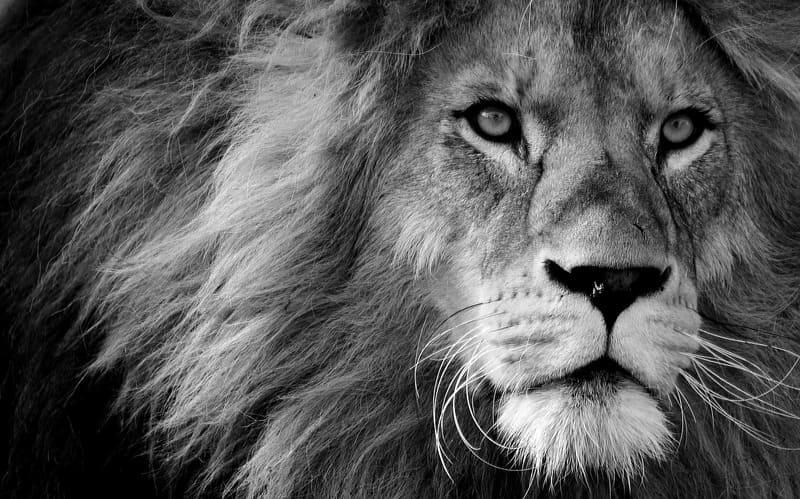 モノクロのライオンの写真