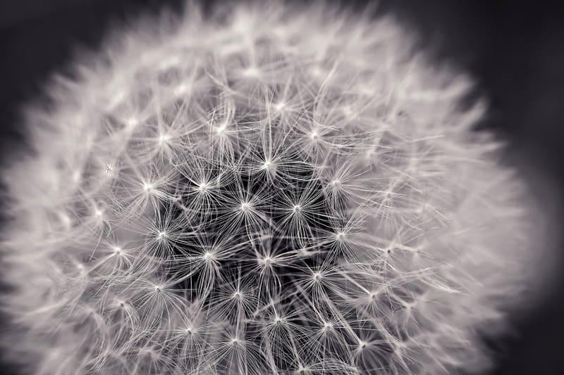 モノクロのたんぽぽの綿毛の写真