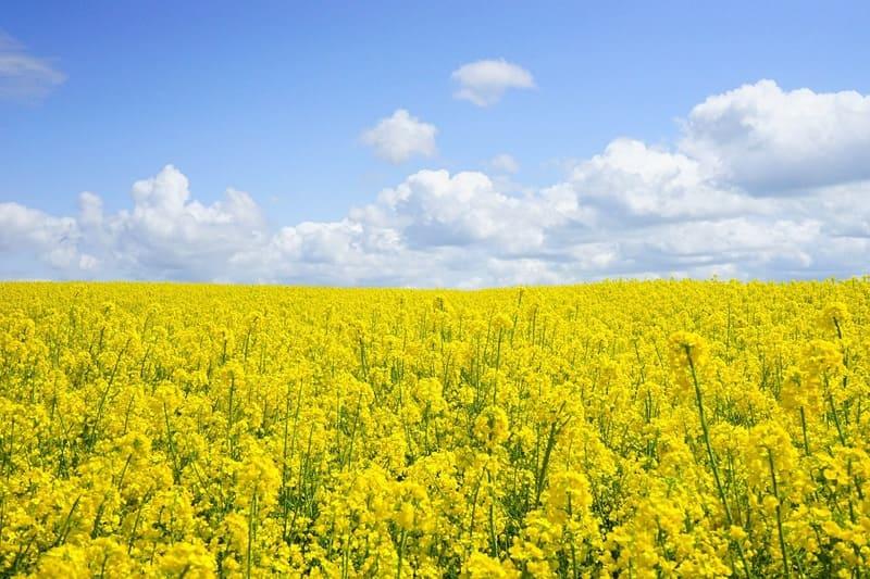 青い空と一面に広がる菜の花の写真