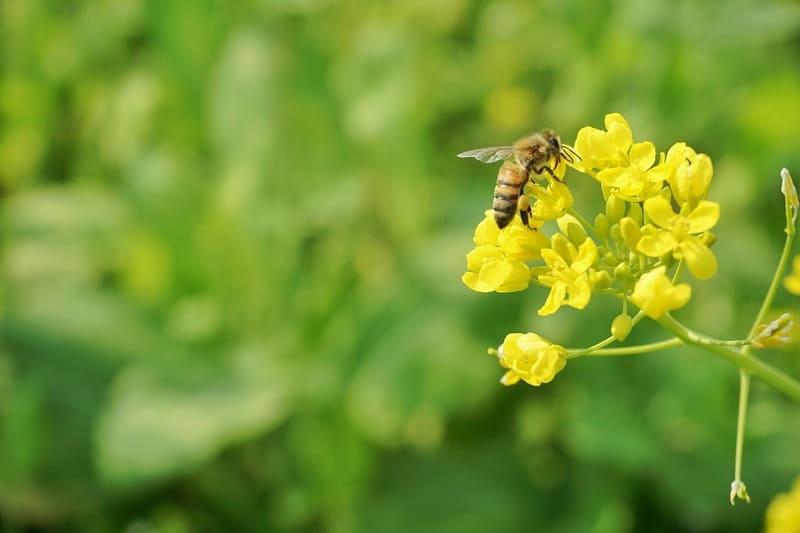 菜の花で蜜を集めるミツバチ