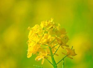 菜の花の撮り方7選!コンセプトを明確にして撮ろう!菜の花の見頃と撮影ポイントを紹介