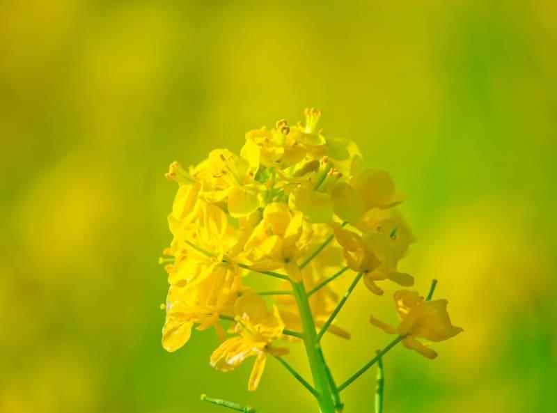 緑と黄色のきれいなコントラストの菜の花