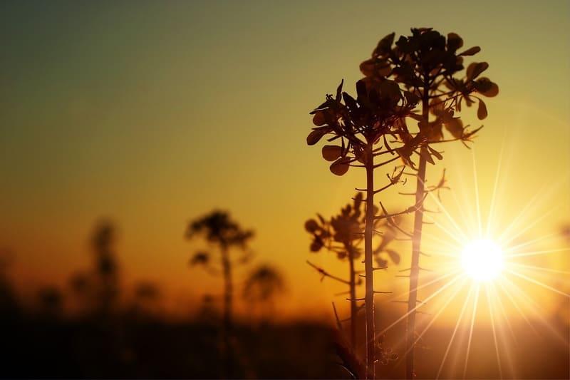 夕焼けの逆光で撮ったシルエットの菜の花