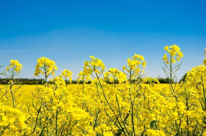 菜の花と同じ目線から撮った青い空と菜の花