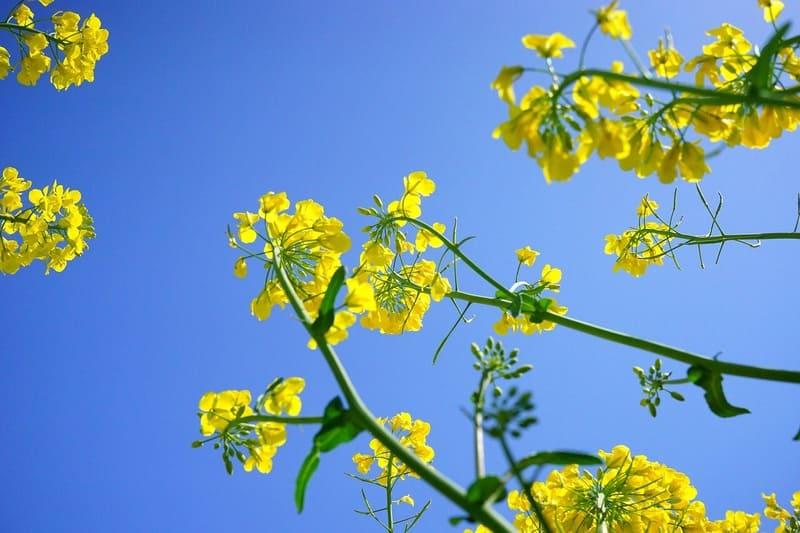 下から撮った菜の花と青い空