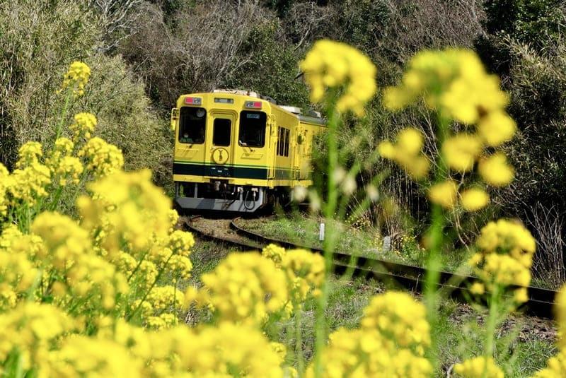 菜の花のすきまに現れた電車