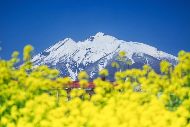 菜の花畑から望む雪山の写真