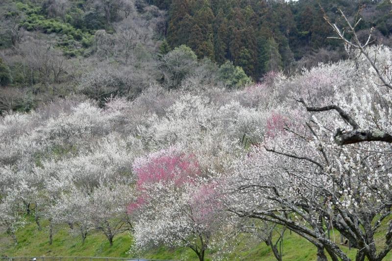 木下沢梅林の斜面に咲く満開の梅