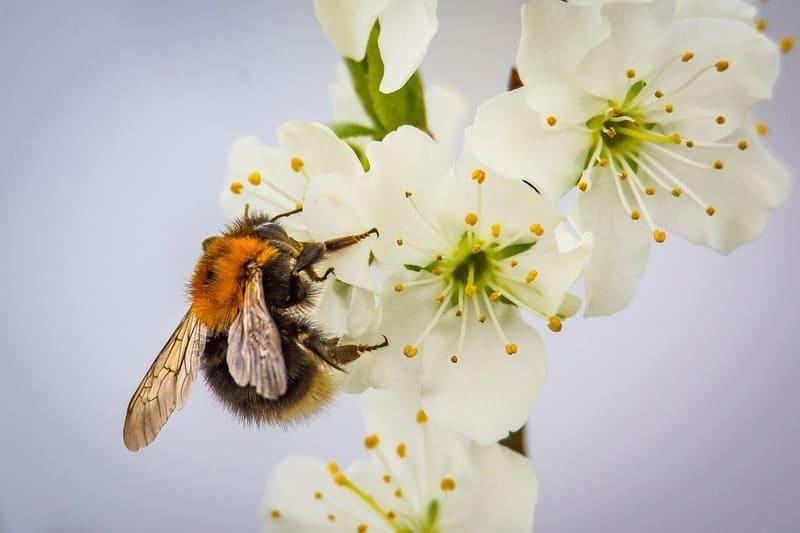 梅の花に留まっているハチの写真