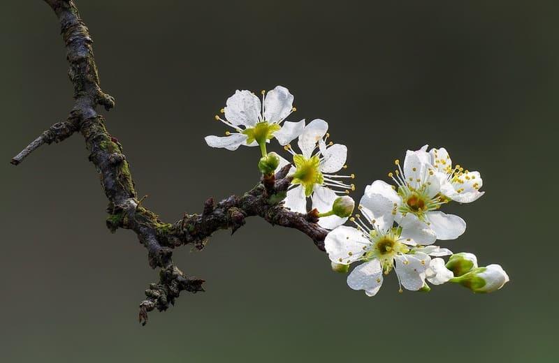 背景のボケが聞いている枝先の梅の写真