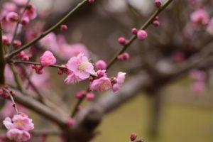 梅の花の撮影方法を紹介!素敵な写真に仕上げる5つのポイント!
