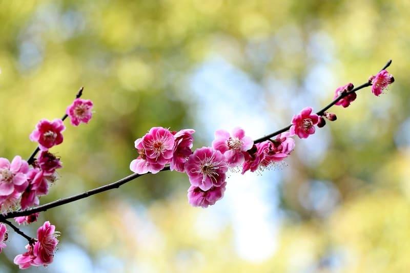 対角線構図で撮られたピンク色の梅の写真