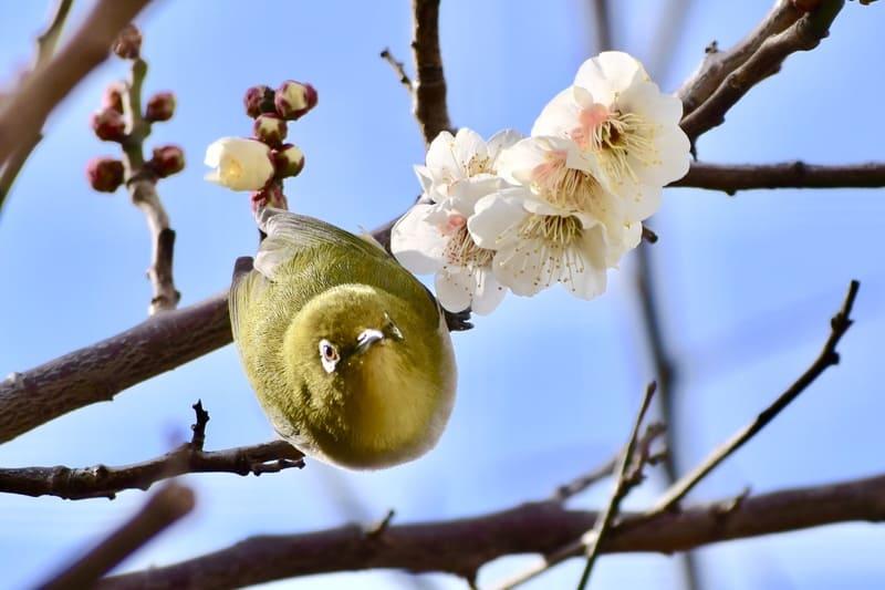 メジロと一緒に撮られた梅の写真