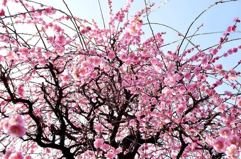 標準レンズで下から見上げた梅の写真