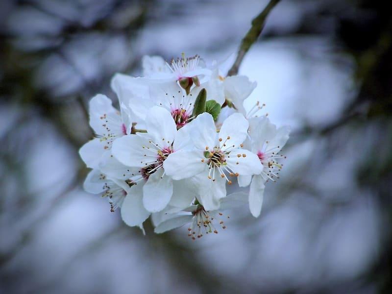 色温度が低い白色の梅の花の写真