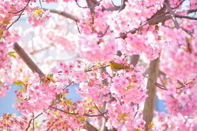 アクティブDライティング100%で撮影したメジロと桜