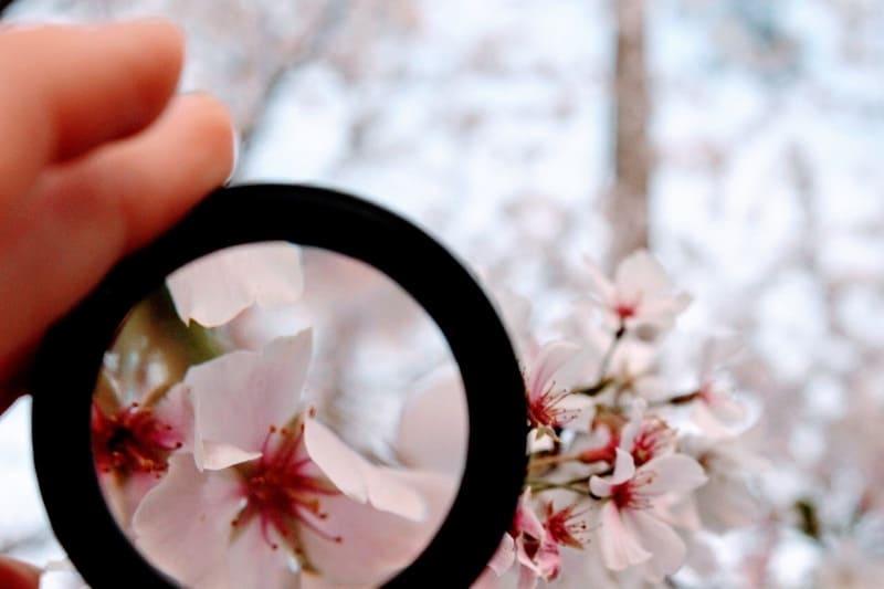 クローズアップレンズで桜を拡大している写真