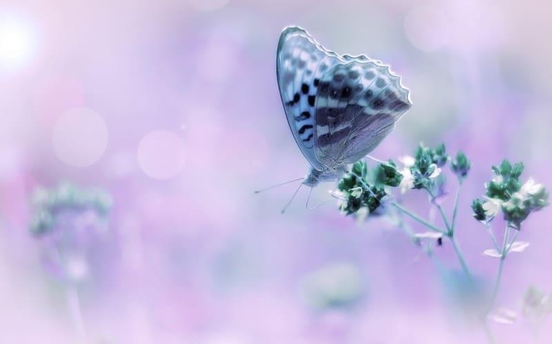 お花畑の蝶々