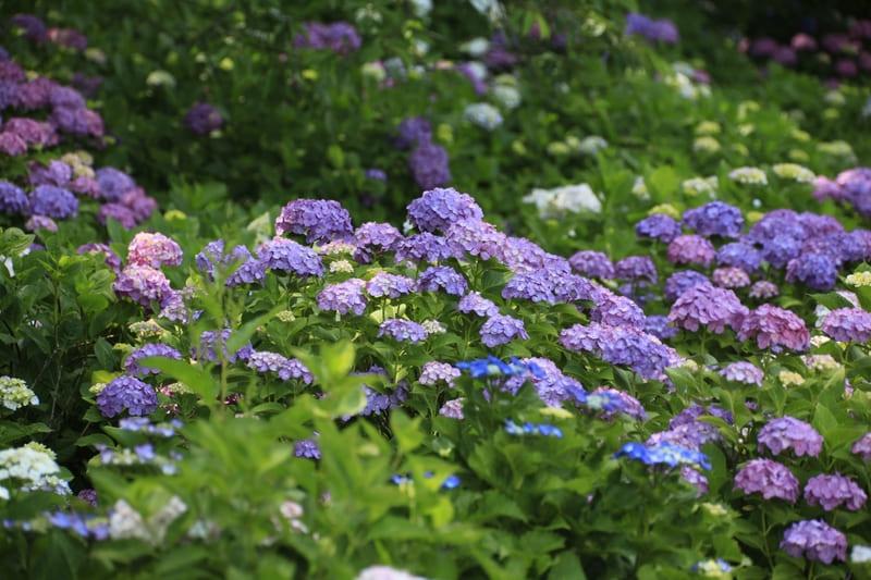 権現堂の紫陽花