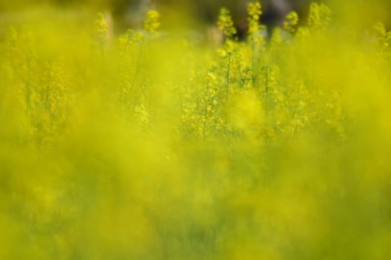 前ボケの菜の花の写真