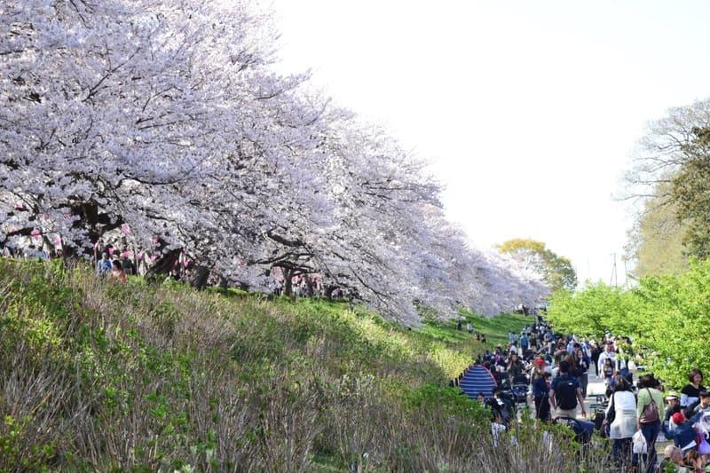 桜並木の下でピクニックしている写真