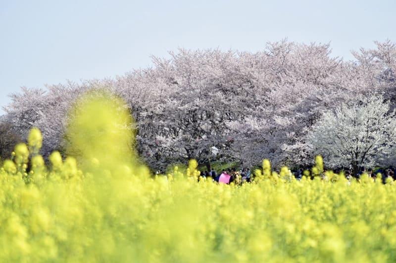 前ボケを取り入れた菜の花と桜