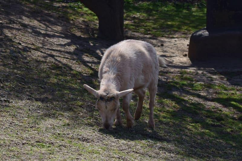 白いヤギさんの写真