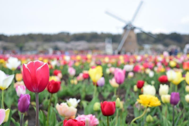 色鮮やかなチューリップと風車